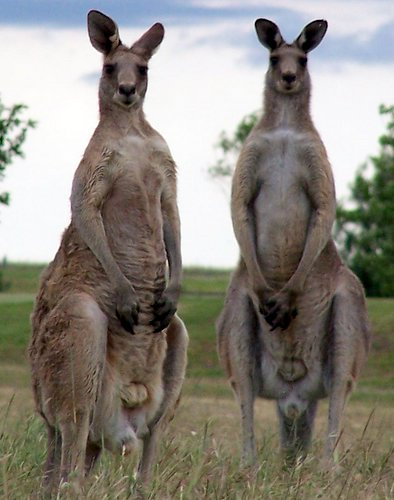 Kangaroo Invasion