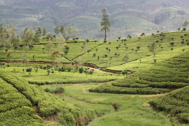 A Journey on the Ceylon Tea Trail
